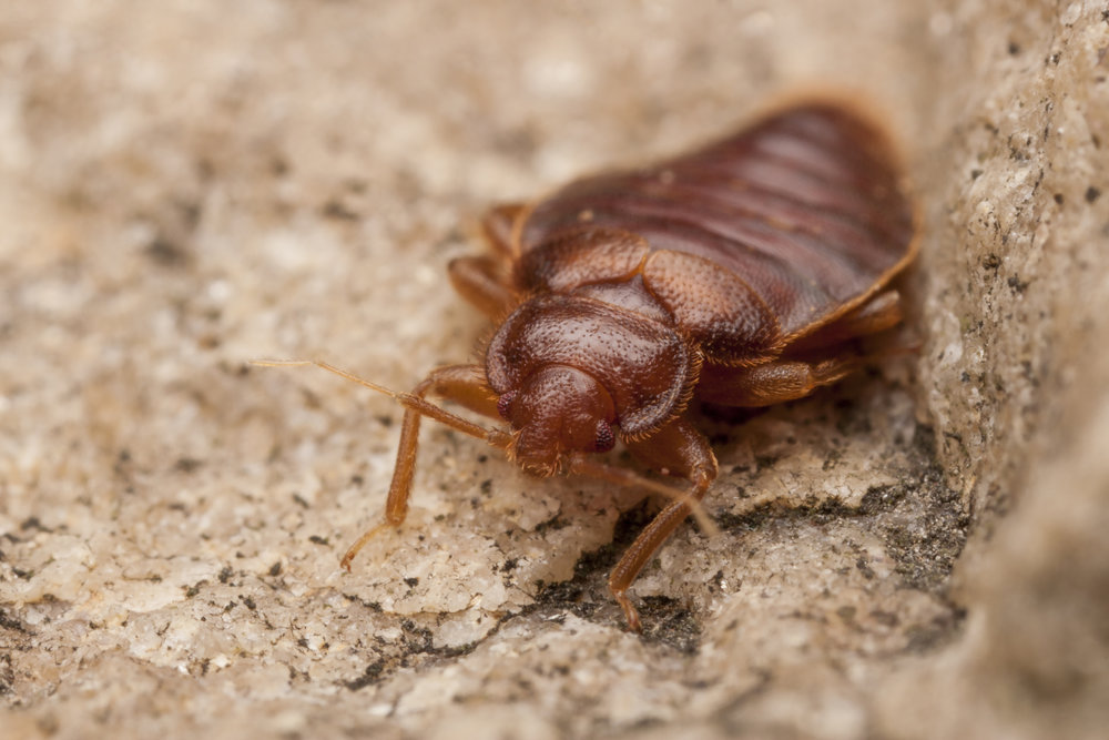 How To Get Rid Of Bed Bugs – Bed Bug Removal Tips